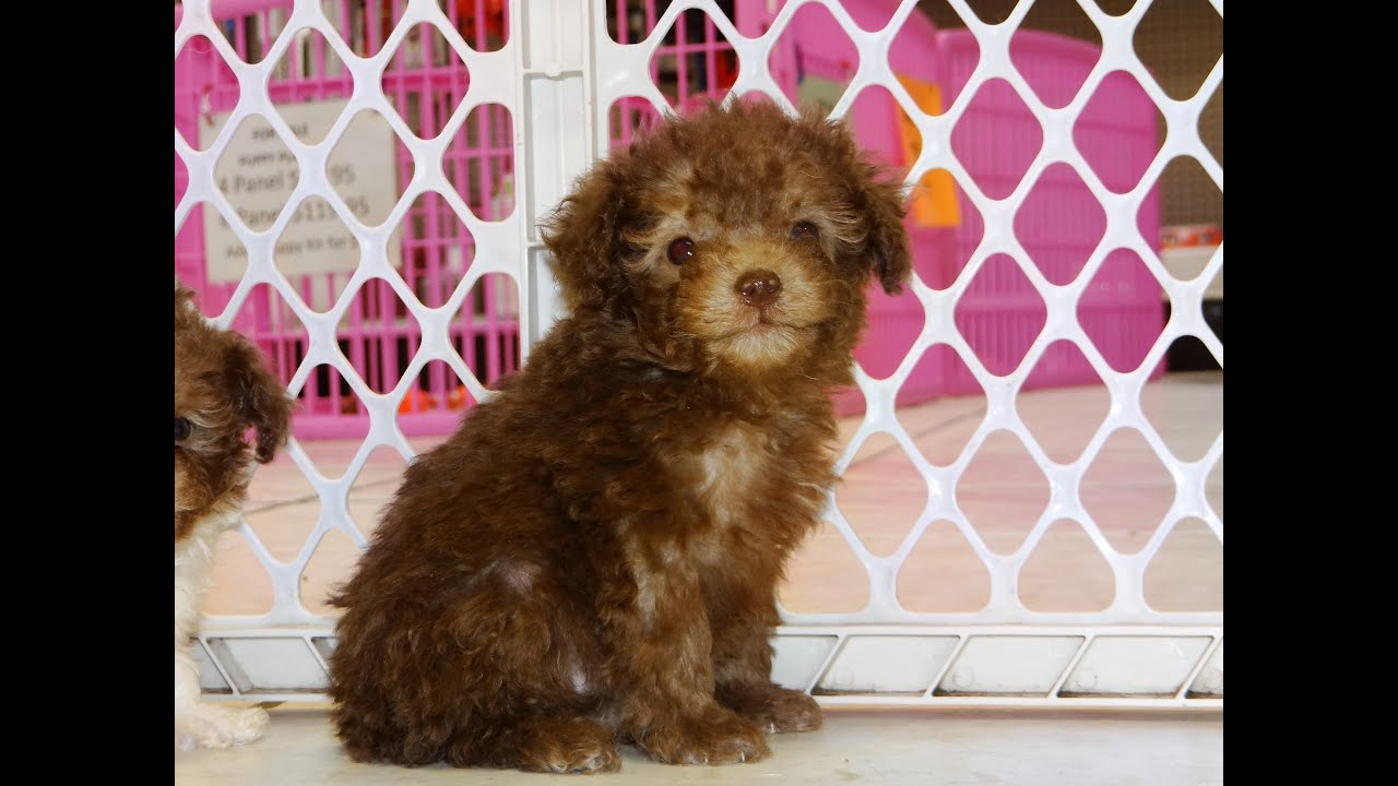 Toy Poodle, Puppies, Dogs, For Sale, In Gulfport, Mississippi, MS,  19Breeders, Biloxi, Olive Branch