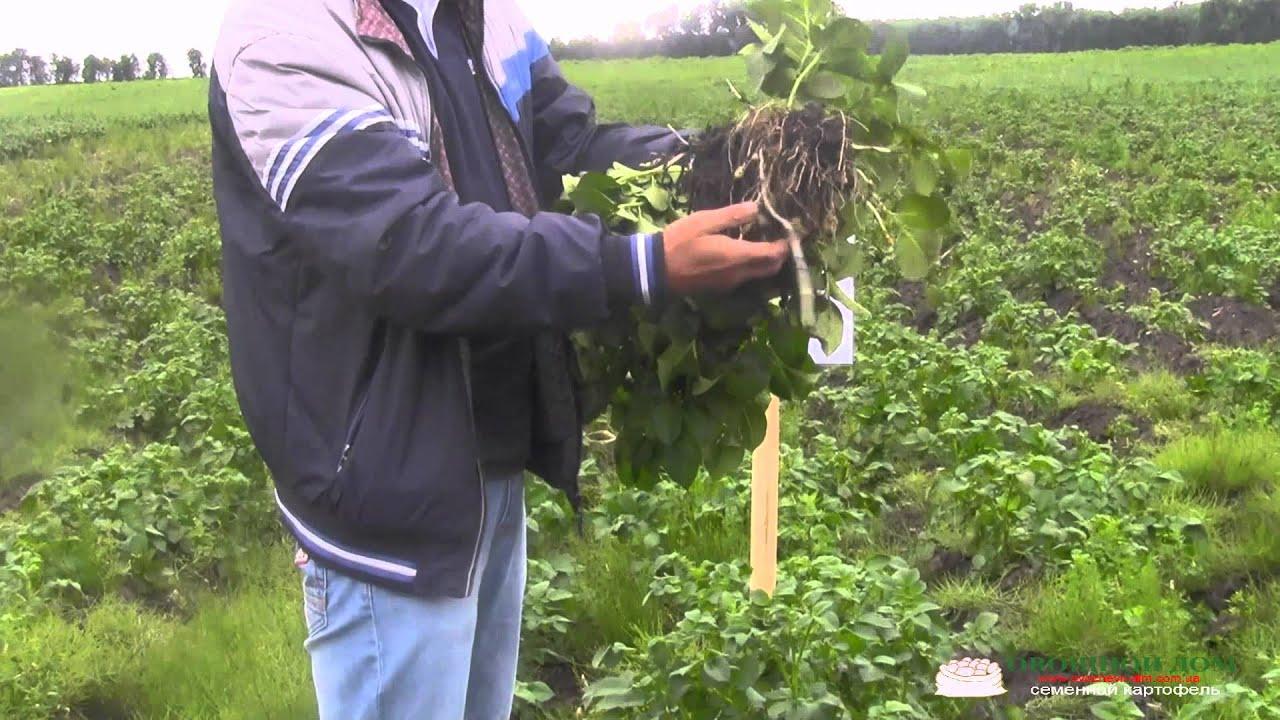 Автоматическая упаковка свежей зелени салата зеленого лука щавеля .