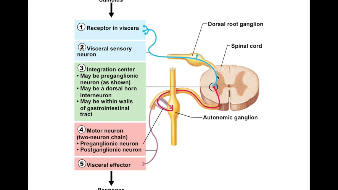 diagram a reflex arc chapter 14 5 visceral reflexes bio201 youtube  chapter 14 5 visceral reflexes bio201 youtube