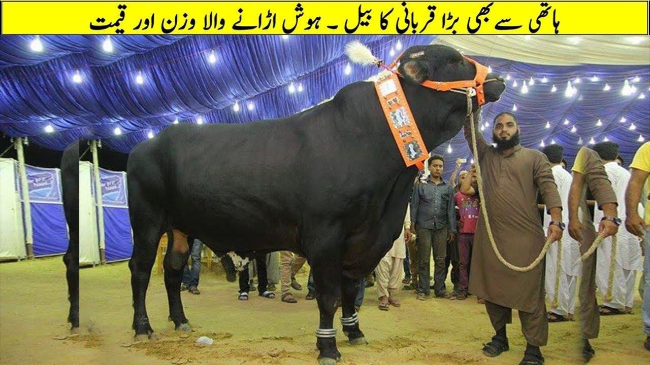 Biggest And Most Unique Bulls In The World    Islam Advisor