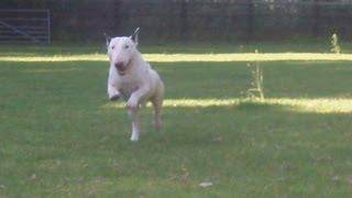 English Bull Terrier Shilo.