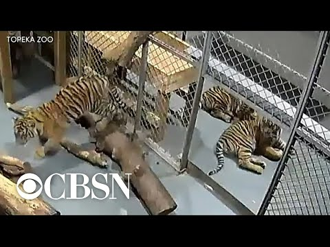 Woman hospitalized after tiger attack at Topeka Zoo