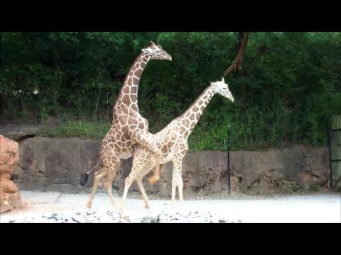 "Mating Giraffes ""Sexual Education"" On The Sixth Try This Male Giraffe Succeeds..."