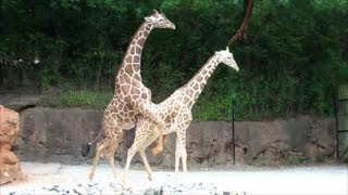 Repeat youtube video Mating Giraffes