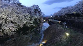 日本一周女ひとり旅272日目。山形県霞城公園からお堀と電車と夜桜Live