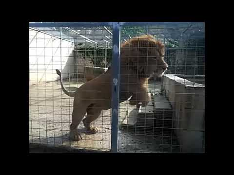 The maltese lion Cecil in action in slow motion,