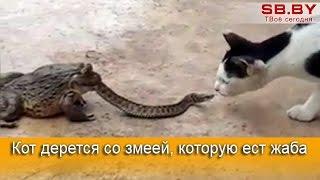Кот дерется со змеей, которую ест жаба