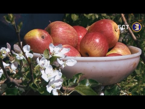Чудо селекции - Башкирские фрукты.