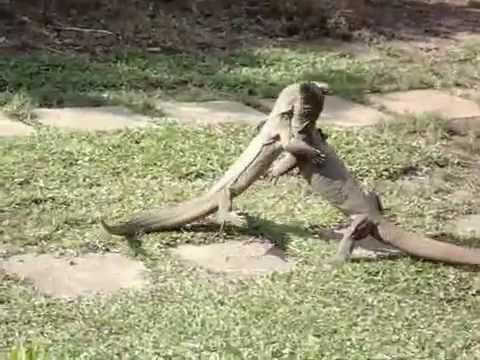 Iguanas Sex 64