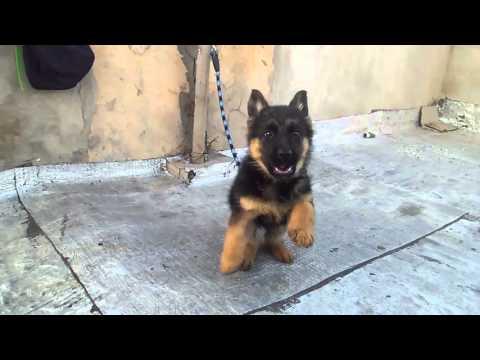 Dressager chiens berger allemand  petit bebe de 2 mois