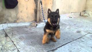 Download Video Dressager chiens berger allemand  petit bebe de 2 mois MP3 3GP MP4