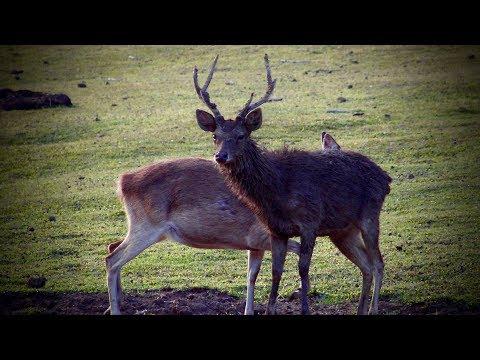 Head and neck shots # 7 New Zealand {Rusa deer },