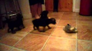 Border Terrier Puppies 6 Weeks