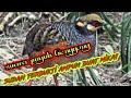Suara Pikat Burung Puyuh Hutan Paling Ampuh   Mp3 - Mp4 Download