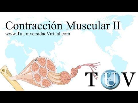 (Parte 2) Contraccion Muscular Fisiologia Como Funciona Actina y Miosina - TuuniversidadVirtual