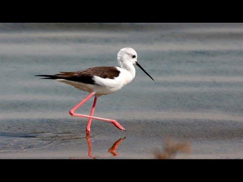 Ходулочник птица (Black winged stilt)