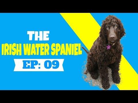 THE IRISH WATER SPANIEL