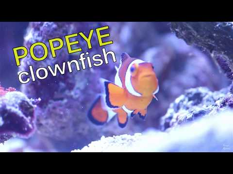 POPEYE CLOWN FISH | REEF TANK VLOG_051