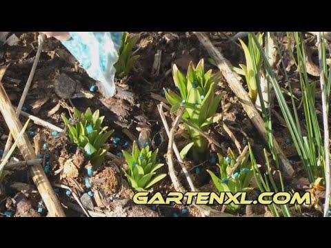 Schneckenkorn Zur Schneckenbekämpfung Im Garten Anwenden
