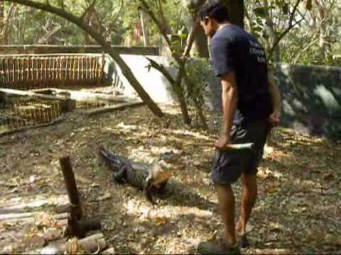Alligator enrichment training