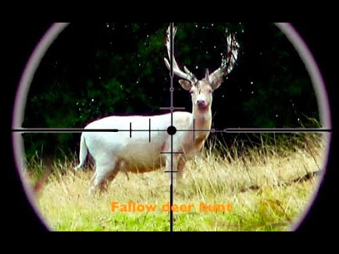 Hunting Two Fallow Deer With 22-250 Rifle For Meat In New Zealand # 240