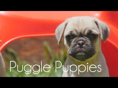 Puggle puppies in the sun!!