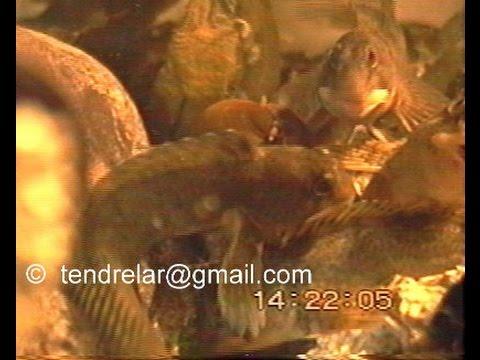 Aquarium marin : le nourrissage des blennies
