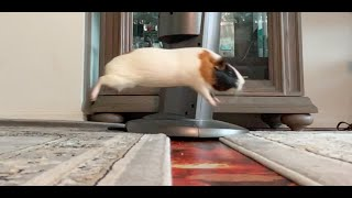 Harlow the guinea pig gets big air on this lava jump. Frodo not so much.