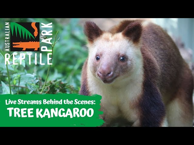 LIVE WITH TREE KANGAROOS   AUSTRALIAN REPTILE PARK