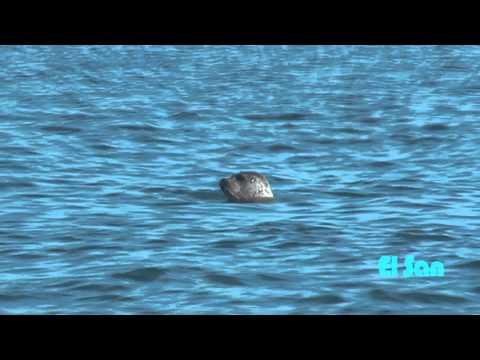 Тюлени Ларги