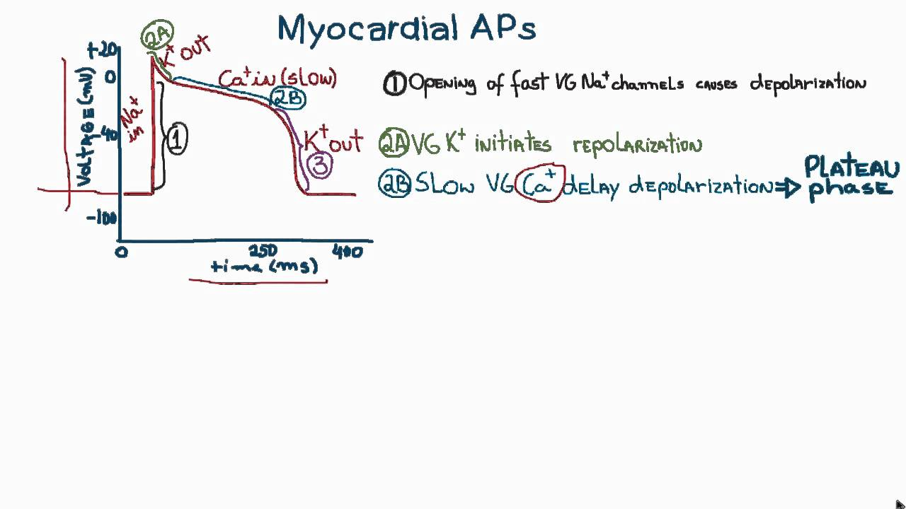 Action potentials in cardiac myocytes or cardiac potential youtube ccuart Image collections