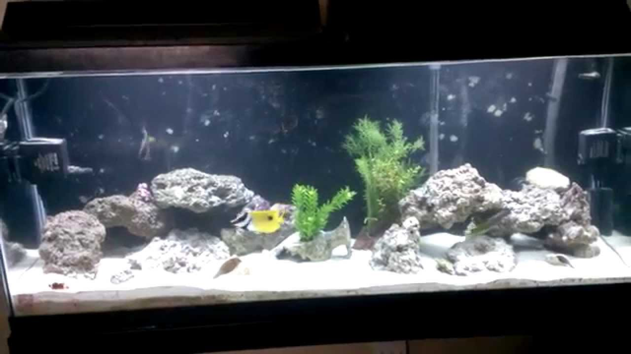 55 gallon saltwater tank aggressive fowlr youtube for Aggressive saltwater fish