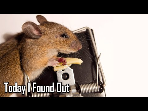 The Truth About Whether Mice Actually Like Cheese