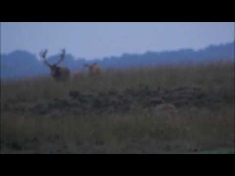 Mijn film   Hoge Veluwe   bronstijd herten bij avond bijna voorbij eind september 2017