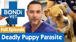 Removing a Deadly Parasite From an Australian Puppy | FULL EPISODE | E04 | Bondi Vet