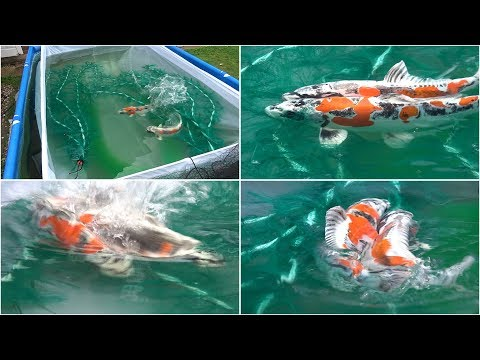 My Koi Breeding Project - Part 11 - Second Spawning Takes Place