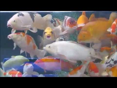 Do Koi Have Teeth? and what they look like from YouTube · High Definition · Duration:  5 minutes 53 seconds  · 3,000+ views · uploaded on 8/7/2016 · uploaded by Adam Julyan