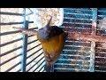 Masteran Burung Sogon Sogok Ontong Burung Madu Sriganti  Mp3 - Mp4 Download
