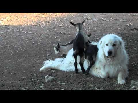 Great Pyrenees Guardian Dog with Alpine Goats