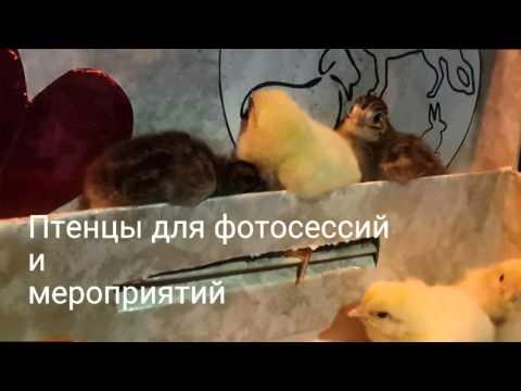 Киноэнималс. Цыплята для фотосессий