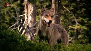 Wolf - Geburt Welpen in neuem Lebensraum
