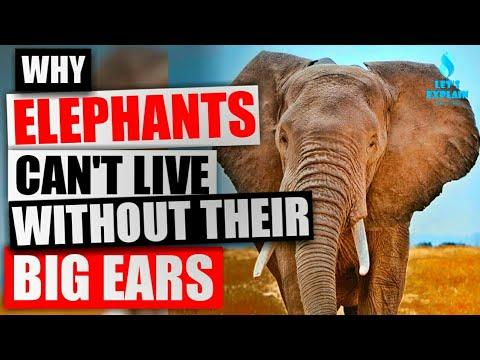 Big Ears Of Elephants - Why It's Important #8