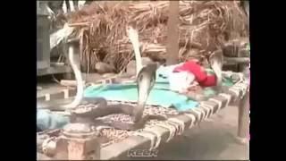 Cobras Protecting Sleeping Baby
