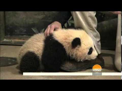 TODAY  Panda cub Bao Bao greets visitors at National Zoo