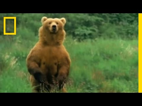 Kodiak Bears Eat Whale | National Geographic