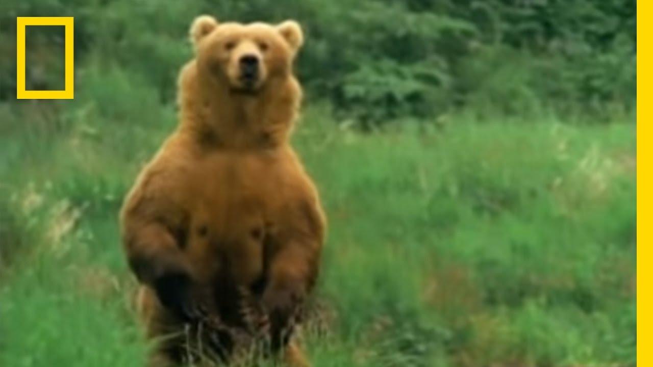 Kodiak Bears Eat Whale National Geographic