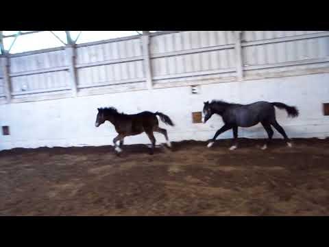 Canadian Sport Pony colts by Bodyguard