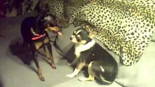 Chihuahua & Minpin
