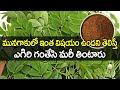 మునగాకు ఉపయోగాలు? - Marniga Leaf use For Good Health