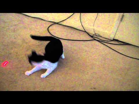 Cat chasing laser pointer